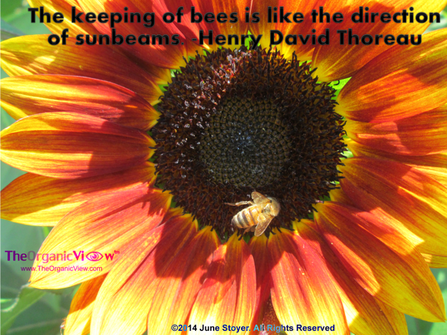 The keeping of bees is like the direction of sunbeams.-Henry David Thoreau