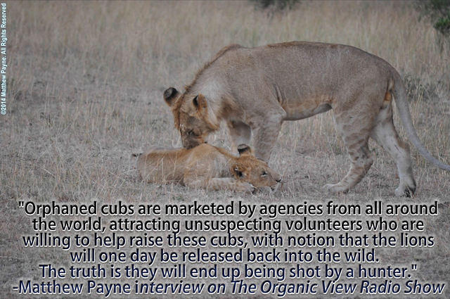 Orphaned cubs are marketed by agencies from all around the world -Matthew Payne
