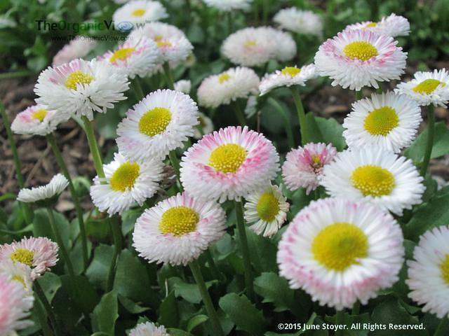Daisy, Bellis perennis at the Brooklyn Botanic Garden by June Stoyer