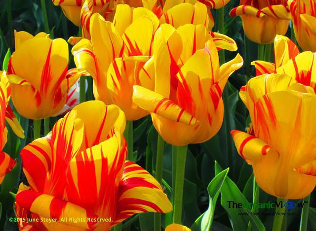 Easter tulips. Photo by June Stoyer