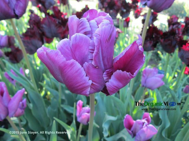 Purple tulips at the Brooklyn Botanic Garden by June Stoyer