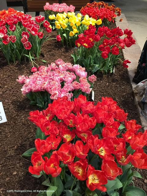 Blooming Tulips at the Chicago Flower and Garden Show