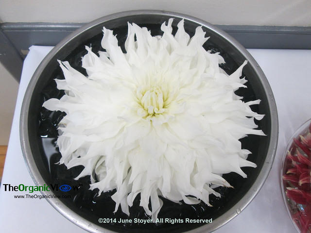 Dinnerplate sized dahlia.