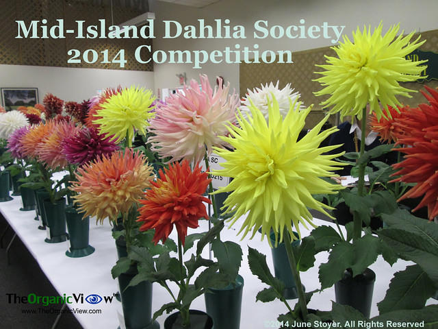 Mid-Island Dahlia Society 2014 Competition