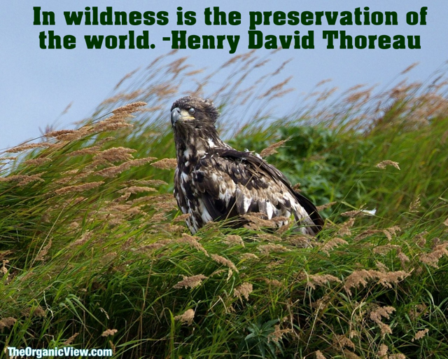 In wildness is the preservation of the world. -Henry David Thoreau