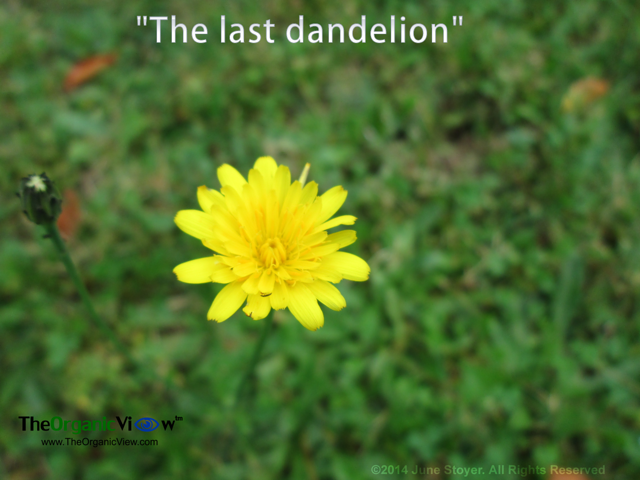 The last dandelion of the season. Photo by June Stoyer