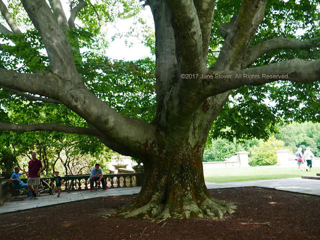 The Great Beech at Old Westbury Gardens