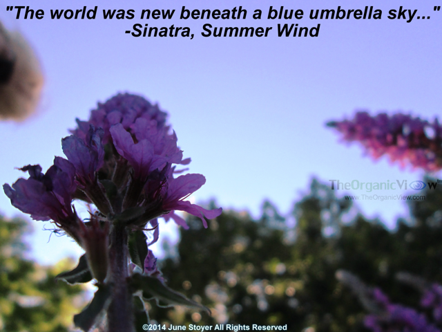 The world was new beneath a blue umbrella sky Sinatra, Summer Wind