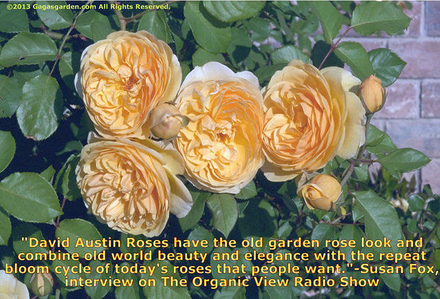 David Austin Roses have the old garden rose look...