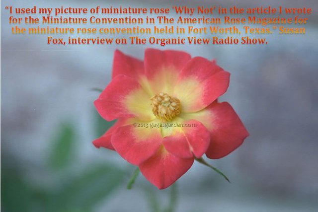 I used my picture of miniature rose 'Why Not' in the article I wrote for the Miniature Convention in The American Rose Magazine