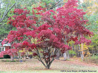 The Perfect Red-Leafed Tree