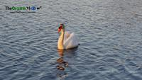 Swan on Mill Pond, Long Island. Photo by June Stoyer