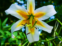 Hybrid Lily, Lilium 'Conca D'or' at the Brooklyn Botanic Garden. Photo by June Stoyer