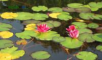 Water Lilies at the Brooklyn Botanic Garden by June Stoyer