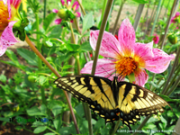 Swallowtail on a dahlia. Dahlia Photography by June Stoyer