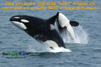 Did you know that wild killer whales are orcas and are actually NOT a threat to humans