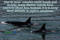 Due to orcas complex social bonds and society many marine experts have concerns about how humane it is to keep these animals in captive situations