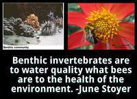 Benthic invertebrates are to water quality what bees are to the health of the environment June Stoyer
