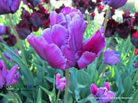 Blooming purple tulip. Photo by June Stoyer