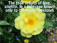 The rose speaks of love silently in a language known only to the heart Unknown