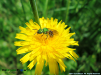 This dandelion is a pollinator's feast yet people dump tons of chemicals to kill them. June Stoyer