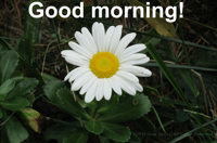 Good morning (Montauk daisy)