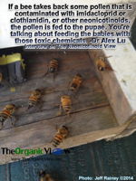 If a bee takes back some pollen that is contaminated with neonicotinoids, the pollen is fed to the pupae Dr Lu