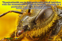 Neonicotinoids are in fact molecules which interfere with the transmission of signals between neurosis in a particular way Dr Randolf Menzel