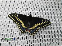 Black Swallowtail at The Butterfly Experience at The Philadelphia Flower Show. Photo by June Stoyer