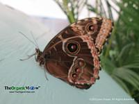 Owl Butterfly at The Butterfly Experience at The Philadelphia Flower Show. Photo by June Stoyer