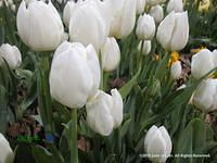 Tulipia Matterhorn in bloom at the Philadelphia Flower Show by June Stoyer