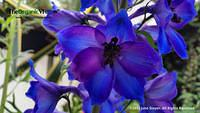 Beautiful In Blue at Planting Fields Arboretum. Photo by June Stoyer