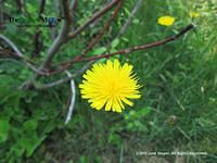 A Dandelion: The First Sign of Spring by June Stoyer