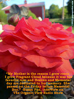 My Mother is the reason I grow roses...